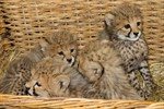 Geparden-Nachwuchs im Rostocker Zoo