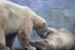 Eisbären-Hochzeit im Rostocker Zoo