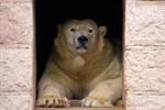 Eisbärennachwuchs im Zoo Rostock?