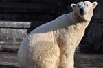 Eisbär Blizzard zieht in den Hamburger Tierpark Hagenbeck um