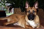 """Diensthund vermisst - Wer hat """"Kerry"""" gesehen?"""