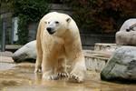 Eisbär Lars soll im Zoo Rostock für Nachwuchs sorgen