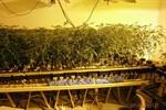 Illegale Hanfplantage: 369 Cannabispflanzen sichergestellt