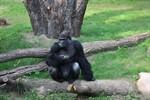 Assumbo erkundet erstmals sein neues Revier im Darwineum