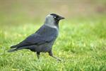 """Vortrag: """"Dohle - Vogel des Jahres 2012"""""""