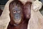 Trauerfall im Darwineum: Orang-Dame Shiwa ist gestorben