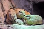 Gundis haben ihr Quartier im Rostocker Zoo bezogen
