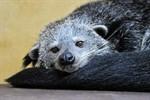Marderbären-Zuwachs im Zoo Rostock