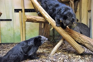 Binturongs im Zoo Rostock