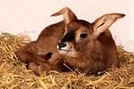 Zoo Rostock sucht Namen für junges Pferdeantilopenmädchen