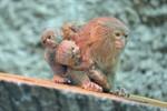 Darwineum: Zwergseidenäffchen bringt winzige Zwillinge zur Welt