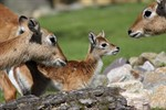 Nachwuchs bei den Litschi-Moorantilopen im Rostocker Zoo