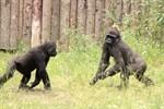Gorilla-WG nimmt Freigehege im Darwineum in Besitz