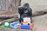 Gorilla Assumbo feiert 40. Geburtstag im Rostocker Zoo