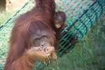 Surya heißt das Orang-Utan-Baby im Zoo Rostock