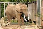 Rostocks letzter Elefant ist gestorben