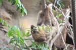 Faultierdamen im Rostocker Zoo hängen jetzt mit Jens ab