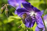 Kranke Bienen: Amtstierarzt ruft Sperrzonen aus