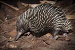 Neuguinea-Kurzschnabeligel-Nachwuchs im Zoo Rostock