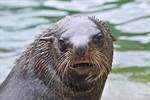 Trauer im Rostocker Zoo - Seebären Ron und Ole gestorben