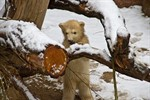 Fiete heißt der kleine Eisbär im Zoo Rostock