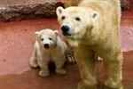 Kleiner Rostocker Eisbär entdeckt die Außenanlage