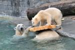 Zoo Rostock: Eisbärenjunge Fiete kann jetzt tief abtauchen