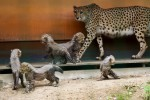 Gepardennachwuchs zeigt sich auf der Außenanlage