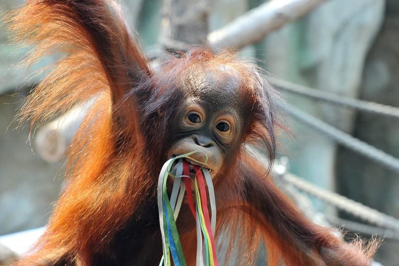 Orang-Utan Surya feiert ihren 2. Geburtstag im Rostocker Zoo