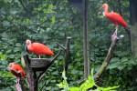 Die Roten Ibisse sind zurück im Zoo Rostock