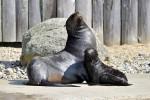 Seebärennachwuchs Ronja im Zoo Rostock getauft