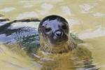 Seehundmädchen Ylvi im Rostocker Zoo getauft