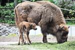 Wisent-Nachwuchs im Zoo Rostock