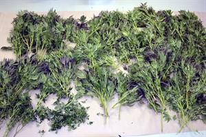 Cannabis-Plantagen in Rostock ausgehoben (Foto: Polizeipräsidium Rostock)