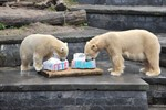 Der kleine Eisbär Fiete feiert heute seinen ersten Geburtstag