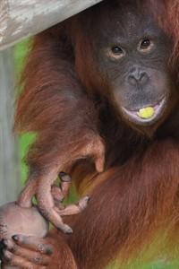 Orang-Utan-Mädchen Dinda lebt seit Donnerstag im Rostocker Zoo (Foto: Monkey World 2015)