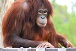 Orang-Utan-Mädchen Dinda lebt seit Donnerstag im Rostocker Zoo