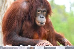 Die neunjährige Dinda verstärkt die Orang-Utan-Gruppe im Darwineum im Zoo Rostock (Foto: Monkey World 2015)
