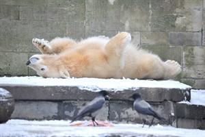 Eisbärenjunge Fiete genießt den Schnee im Rostocker Zoo (Foto: Joachim Kloock)