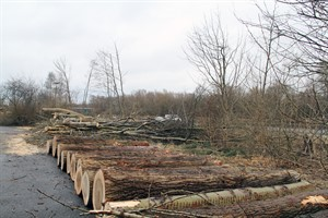 Die Pappeln an der Stadtautbahn in Evershagen werden weitesgehend entfernt