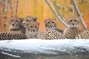 Die fünf Geparden-Jungtiere im Zoo Rostock haben inzwischen auch ihren ersten Schnee erlebt (Foto: Joachim Kloock)