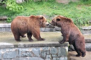 Kamtschatkabärenzwillinge Wanja und Misho verlassen den Zoo Rostock (Foto: Joachim Kloock)