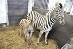 Zebra-Nachwuchs im Zoo Rostock