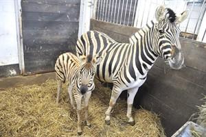Zebra-Jungtier Shari mit Mutter Hakanika im Rostocker Zoo (Foto: Joachim Kloock)