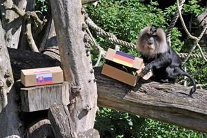 Zoo-Orakel Kalyan tippt auf Sieg von Deutschland gegen die Slowakei (Foto: Joachim Kloock)