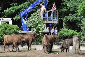 Fütterung im Wisentgehege des Rostocker Zoos: Das frische Grün von Innenminister Lorenz Caffier kam bei den Wisenten gut an. (Foto: Joachim Kloock)