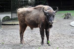 Wisentbulle Wilson komplettiert die Herde mit drei Weibchen und Wisentjungtier Walli im Zoo Rostock (Foto: Joachim Kloock)