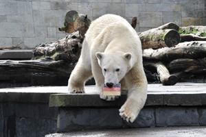 ... Eisbärenjunge Fiete rettete jedoch die deutsche Flagge (Foto: Joachim Kloock)