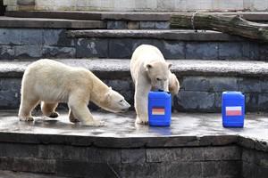 Beim Spiel der Eisbären-Orakel im Rostocker Zoo landeten zwar deutsche und polnische Tonne im Wasser, ... (Foto: Joachim Kloock)