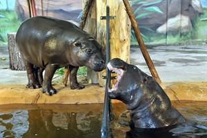 Noch sind die Zwergflusspferde Nimba und Onong selten draußen anzutreffen, hin und wieder erkunden sie aber schon mit vorsichtiger Neugier ihr neues Außenrevier im Zoo Rostock (Foto: Joachim Kloock)